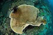 Small polyp stony coral  (Montipora sp. ) Raja Ampat, West Papua, Indonesia, Pacific Ocean | Porenkoralle (Montipora sp. ) Raja Ampat, West Papua, Indonesien, Pazifischer Ozean
