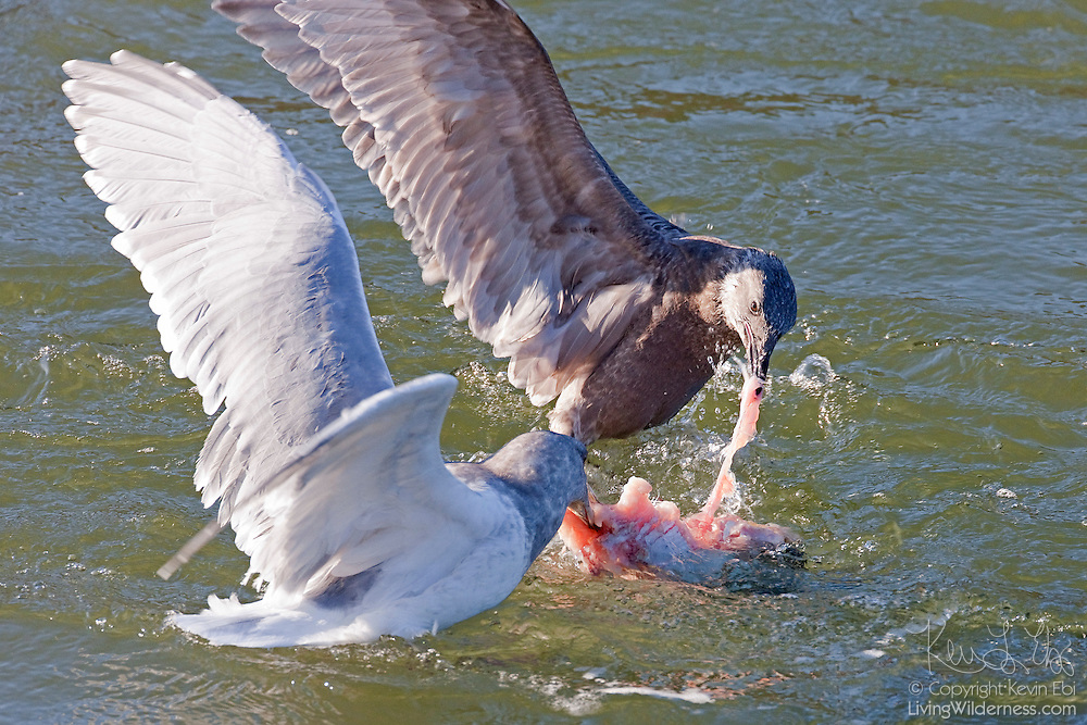 Two gulls feed on a salmon carcass in the Squamish River near Brackendale, British Columbia, Canada.