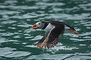 An Atlantic puffin flies low over the coastal waters that surround Skomer Island, a National Nature Reserve of Wales, U.K.
