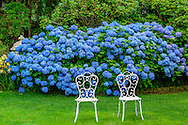 Hydrangea with Chairs,  Gin Lane, Southampton, NY