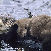 Sea Otter, (Enhydra lutris) Female holding young baby to its chest. Aleutian Islands. Alaska.