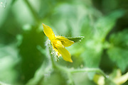 Yellow tomato blossom on a tomato bush
