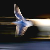 Alight Between Heaven and Earth- Birds in Flight Series