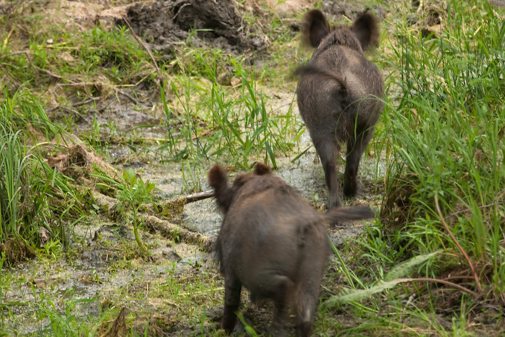 Wild boars (Sus scrofa) crossing swamp, Gornje Podunavlje Special Nature Reserve, Serbia