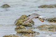 Black-bellied Plover - Pluvialis squatarola flying over the water and rocks