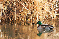 A January morning Mallard rests on the Bear River in northern Utah.