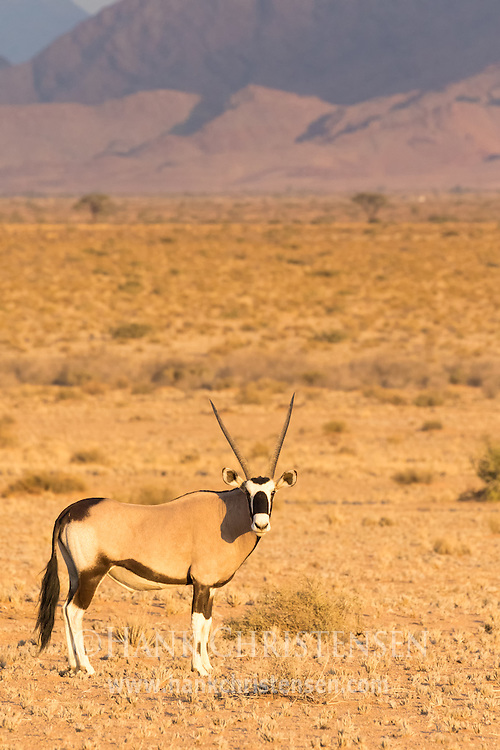 A gemsbok oryx grazes in the desert savanna of western Namibia.