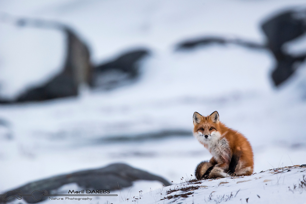 Red fox in a snowy landscape. Hudson bay, Chuchill, Manitoba, Canada.
