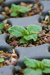 Primula vulgaris. Young seedlings in module tray. Primrose
