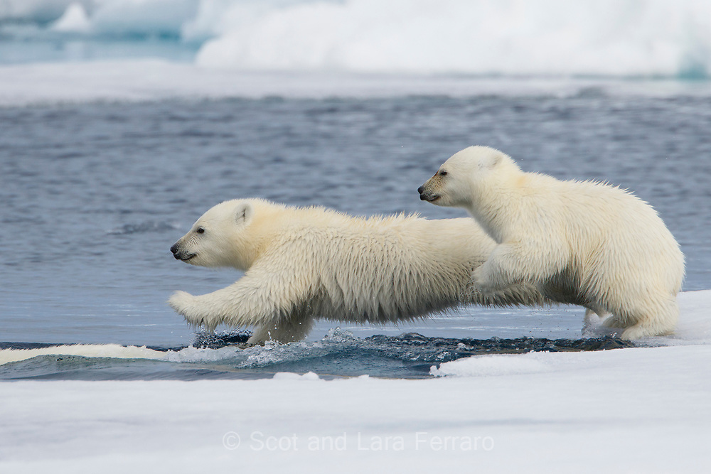 Two yearling cubs leap into the water following mom.  The ice pack is loose here and the bears swims from piece to piece in search of food.