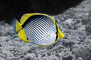 Blackback butterflyfish-Poisson-papillon à dos noir (Chaetodon melannotus), Nusa Penida island, Bali, Indonesia.