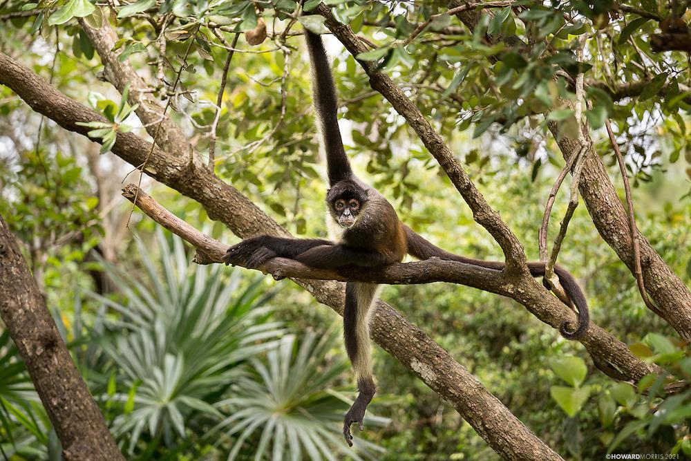 A Geoffroy's spider monkey (Ateles geoffroyi) stare down.