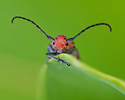 This long&ndash;horned beetle is one of the few insects that can feed on the milkweed plant. This red beetle eats the leaves, the buds and the flowers, easily tolerating the toxins in this poisonous plant.<br />