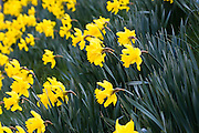 Daffodils, Oxfordshire, United Kingdom UK