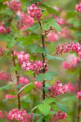 Ribes sanguineum 'King Edward VII'. Flowering currant