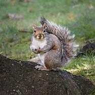 A Grey Squirrel  in Central Park