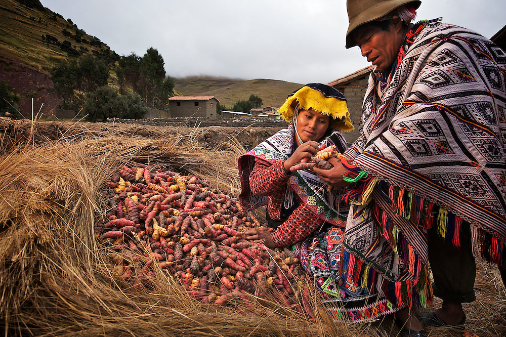 Antonia, wife of Mariano Sutta Apucusi. At their home in Pampallacta.  Oca is a tuber relative of the potato, grown in the high Andes.  Oca is part of the vast biodiversity of some 1,300 varieties of potatoes and tubers grown here.