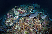 While most reef fish are asleep, Whitetip Reef Sharks and Black Jacks search frantically for a meal.<br /> <br /> <br /> Shot at Cocos Island, Costa Rica