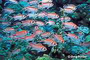 blackbar soldierfish, Myripristis jacobus, The Steps, Saint Vincent, St. Vincent & the Grenadines, West Indies ( Eastern Caribbean Sea )