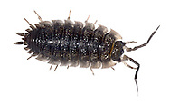 WOODLOUSE<br /> PORCELLIO SCABER