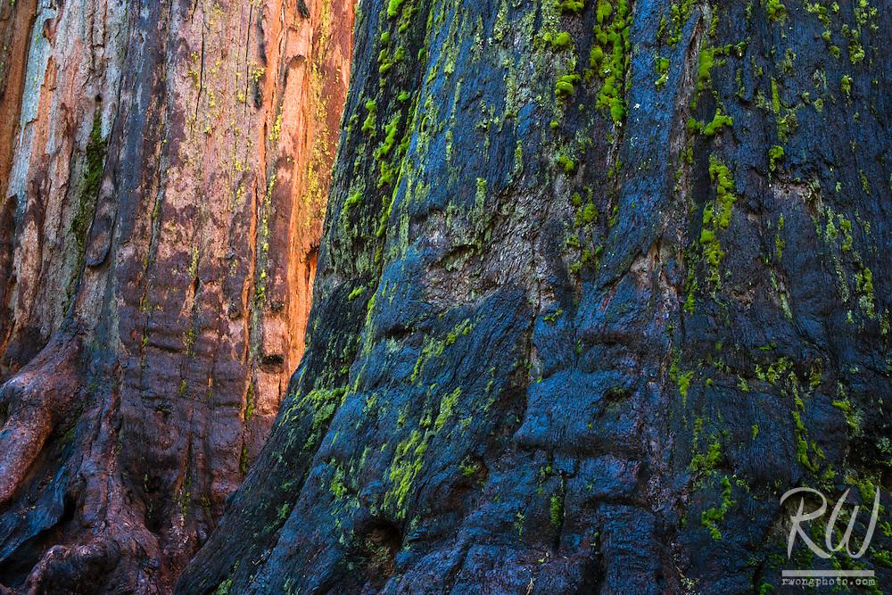 Giant Sequoia (Sequoiadendron giganteum) Tree Trunks at Sunrise, Calaveras Big Trees State Park, California
