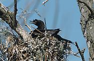 Pygmy Cormorant - Microcarbo pygmaeus
