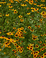 Field of Blackeyed Susan and Coreopsis flowers in my backyard wildflower meadow. Summer nature in New Jersey. Image taken with a Leica T camera and 55-135 mm zoom lens (ISO 100, 56 mm, f/5.6, 1/640 sec).
