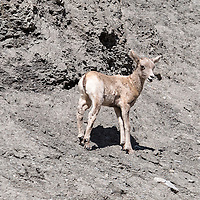Baby bighorn sheep looks for its mother while walking along rock face, near North Entrance to Yellowstone National Park, Wyoming.