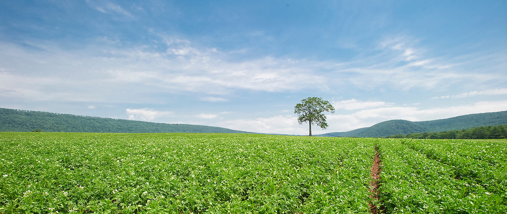 Tree in field of potatoes