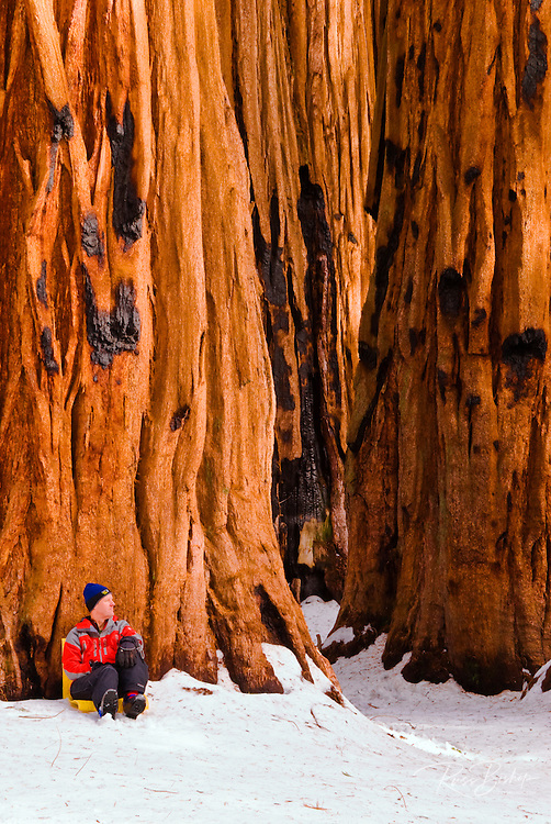 Backcountry skier at the Senate Grove of Giant Sequoias, Giant Forest, Sequoia National Park, California