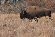USA, Oklahoma, Wichita Mountains National Wildlife Refuge, Bull Bison