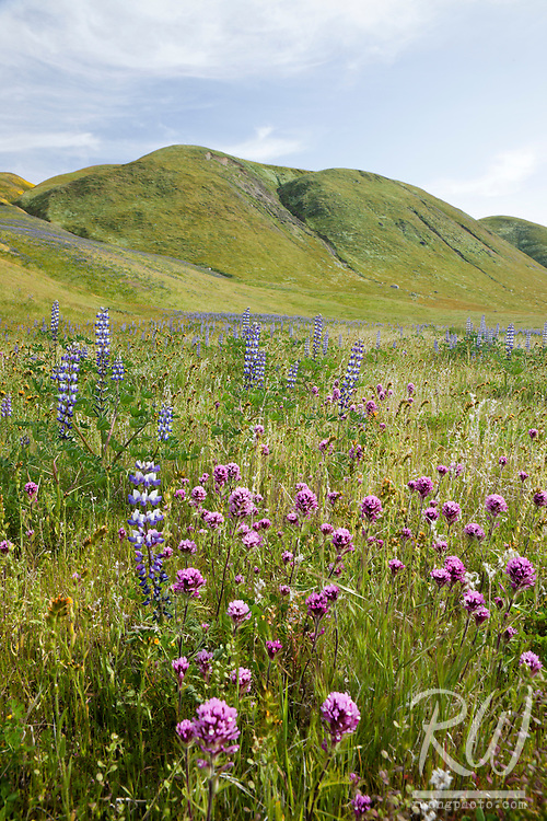 Wildflowers, Wind Wolves Preserve, California