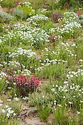 Wildflowers in bloom in the Bighorn Basin of Wyoming