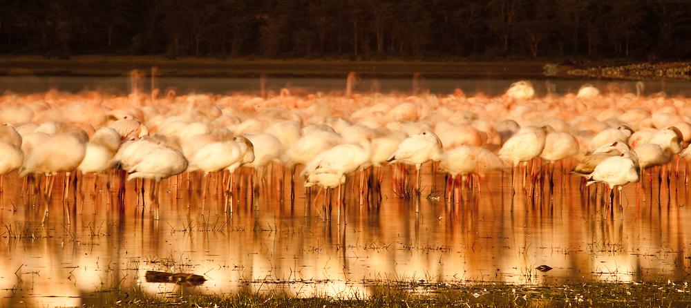 Flamingoes at Olodien Bay, Lake Naivasha