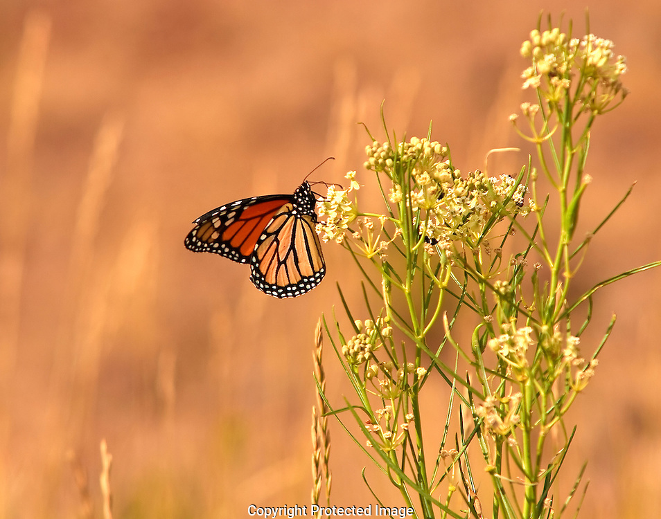 Monarch Butterfly searches for nectar on a group of flowers