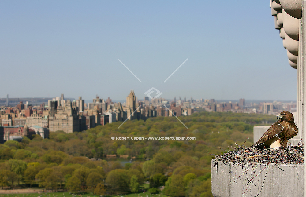 A hawk sits high above Manhattan's Central Park in it's nest which is perched on the side of Trump Place at Central Park South and 6th Ave. April 120, 2006.