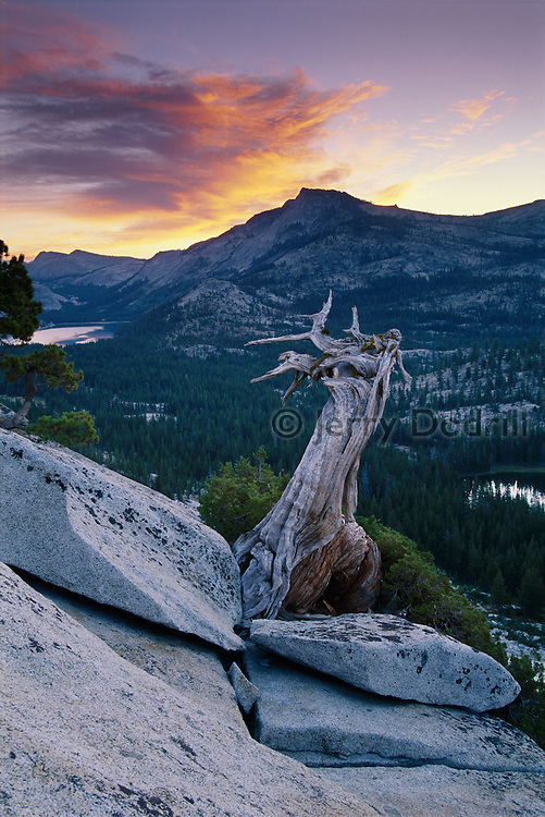 A western juniper snag at sunrise below Tenaya Peak in Yosemite National Park, California