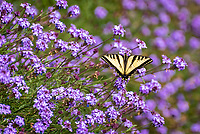 Dorsal view of Western Tiger Swallowtail in purple flowers.