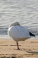 A Snow Goose (Anser caerulescens) rests on one leg during the autumn migration at Iona Beach Regional Park in Richmond, British Columbia, Canada.  Richmond and Delta fields and wetlands are often a stop over for the Snow Geese as they migrate from their summer breeding grounds to warmer winter habitat.