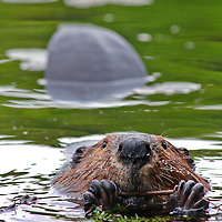 A beaver chews away the skin of a branch.