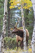 Close-up of elk in autumn habitat