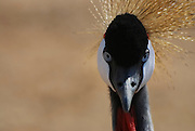 Grey Crowned Crane (Balearica regulorum) Close up