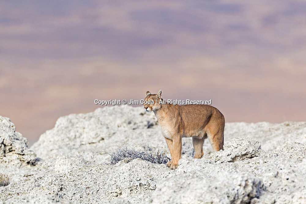 A puma roams through some rocky terrain in Torres del Paine National Park.