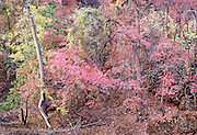 Sirawana Autumn Colors Zion Nat. Park Utah