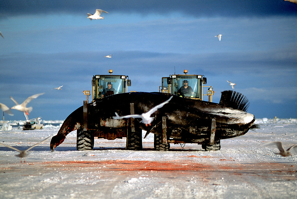 Alaska, Barrow. Modern transportation aids in the traditional subsistence practice of Inupiat whale hunting.