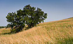 Trees are few on the prairie areas of the Tallgrass Prairie National Preserve due to prescribed controlled burning of the prairie. Prairies in the Flint Hills are intentionally burned by land mangers and cattle ranchers in the spring to prepare the land for cattle grazing and help maintain a healthy tallgrass prairie ecosystem. The burning is also an effective way of controlling invasive plants and trees. The 10,894-acre Tallgrass Prairie National Preserve is located in Chase County near the towns of Strong City and Cottonwood Falls. Less than four percent of the original 140 million acres of tallgrass prairie remains in North America. Most of the remaining tallgrass prairie is in the Flint Hills in Kansas. Tallgrass Prairie National Preserve is the only unit of the National Park Service dedicated to the preservation of the tallgrass prairie ecosystem. The Tallgrass Prairie National Preserve is co-managed with The Nature Conservancy.