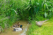Mallard female duck and male drake pair on stream watched by female hen pheasant in The Cotswolds, UK