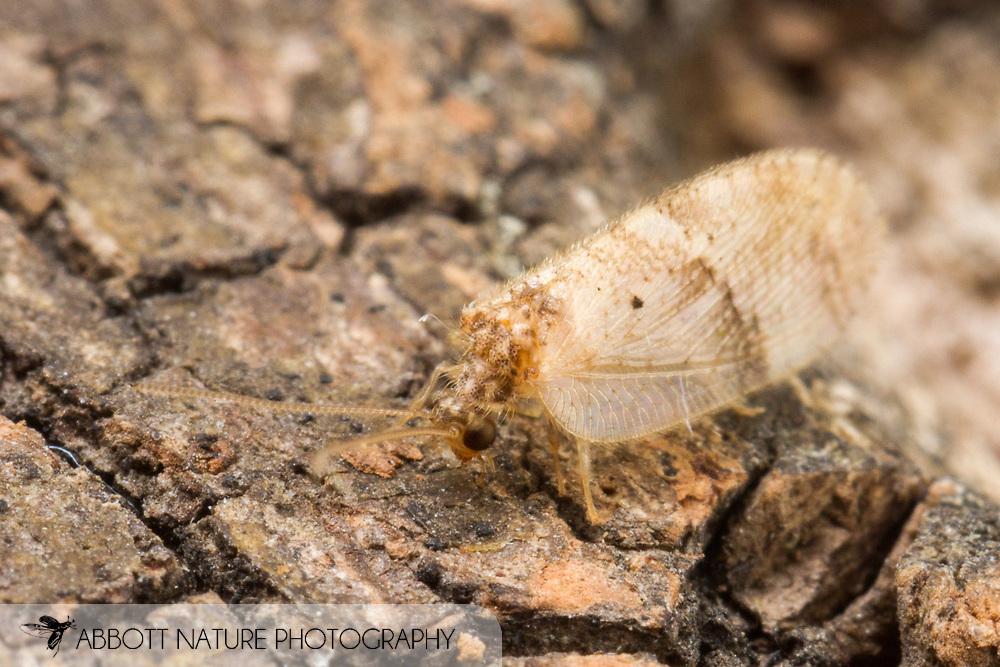 Brown Lacewing (Megalomus fidelis)<br /> United States: Alabama: Tuscaloosa Co.<br /> Tulip Tree Springs off Echola Rd.; Elrod<br /> 28-Jun-2016<br /> J.C. Abbott #2840 &amp; K.K. Abbott