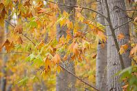 Sycamore Trees, Aravaipa Canyon Preserve, AZ.