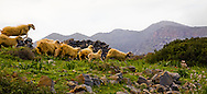 Sheeps running away from the sound of the local festivities in Kolokytha Island, Lassithi Crete.